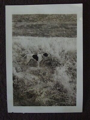 HUNTING POINTER DOG OUT IN THE FIELD Vtg 1930's PHOTO