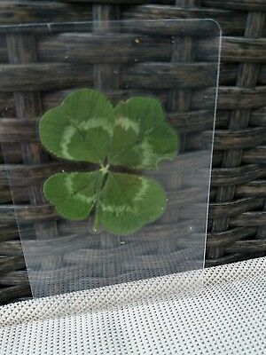 GENUINE REAL 4 FOUR LEAF CLOVER party favour GOOD LUCKpurse wallet phone card