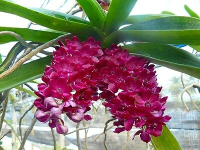 Orchid red/purple  Rhy Gig young plant. WORLDWIDE FREE POST