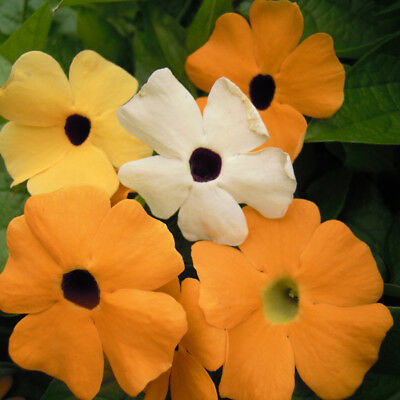 Thunbergia - Alata Mixed / Black Eyed Susan - 25 Seeds
