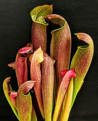 "Sarracenia ""Red Bug"" carnivorous hybrid pitcher plant large size"