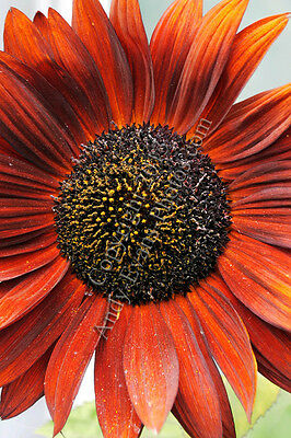 Orange Sunflower photograph picture poster print photo art
