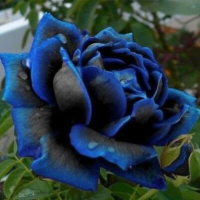 20X Rare Blue Edge Rose Plant Seeds Balcony Garden Potted Rose Flowers Seed Diy