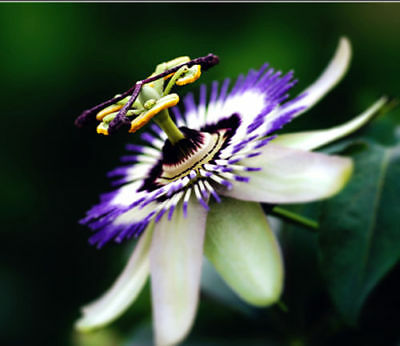 Passion Flower Passiflora Caerulea 10 seeds* SHIPPING FROM US *