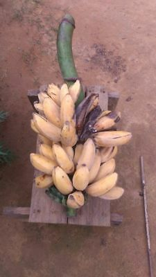 10 Banana Tree Fruit Seeds Organic - Musa Balbisiana Thai Herb USA - BKSeeds