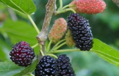 BLACK mulberry cuttings....easy to strike fruit tree x 6