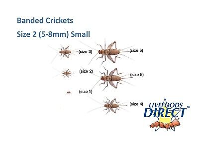225 Crickets Banded Brown Small Size 2 -TUB  Live Food Live Crickets Insect Food