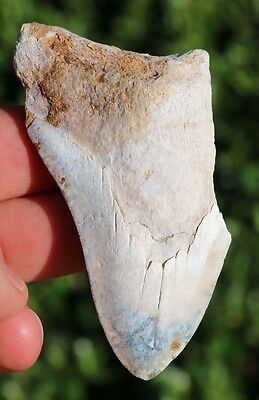 "Huge! Colorful!  3.54"" Megalodon Shark Tooth Teeth Fossil Sharks necklace Meg"