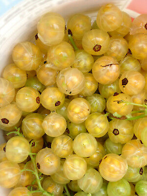 5 Champagne Berry White Currant Stem Cuttings