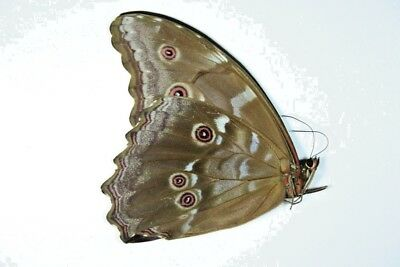 1 Morpho didus in A1 condition