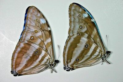 2 Morpho adonis in A1 condition