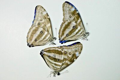 3 Morpho adonis in A1 condition
