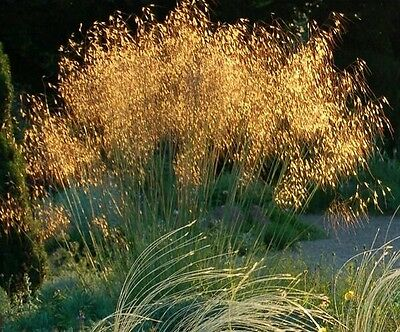 Golden Oat Grass.giant Feather Grass. Stipa Gigantea 15+ Ultra Fresh 2017 Seeds.