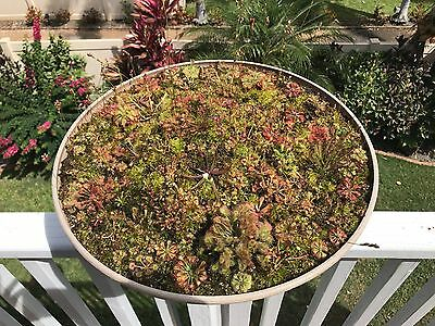 Drosera Sundew Seed Mix 75+ Carnivorous EASY TO GROW!