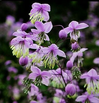Thalictrum Delavayi.v.hardy 15+ Ultra Fresh Sept 2017 Seeds Chinese Meadow Rue.