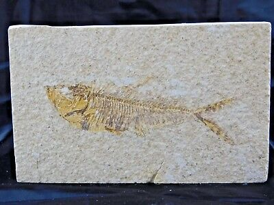 14F) Fossil Fish Display Plate Great Gift Art Decor Wyoming USA