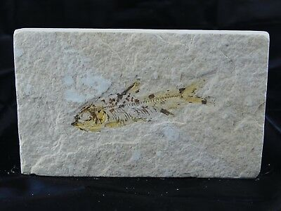 22F) Fossil Fish Display Plate Great Gift Art Decor Wyoming USA