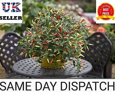 10 to 100 SEEDS Vegetable - Pepper (Chilli) Seeds - Basket of Fire