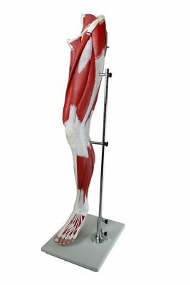 Anatomical Muscular Leg Model, 13 Parts, Life Size