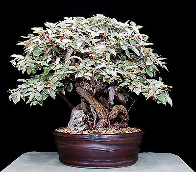 30 Semi Elaeagnus augustifolia Pianta ideale Bonsai prebonsai seeds korn semilla