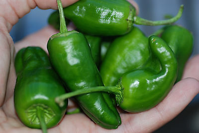 25 Semi Peperoncino piccante Varietà: Padron Green hot Pepper seeds grain Korn