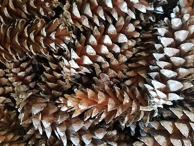"""Eastern White Pine Cones lot of 75 Crafts Wedding 3""""-6"""" inches Christmas"""