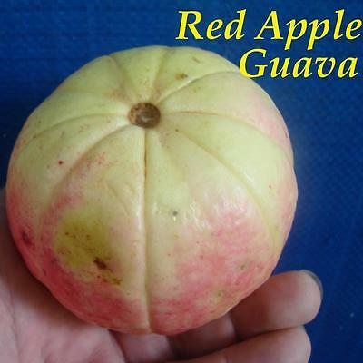 50 Semi Psidium guajava Guava Red Pianta tropicale Frutto dolce profumato seeds