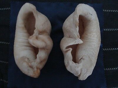 A Pair of Vintage Whale Ear Drums