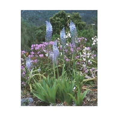 Merwilla plumbea or Scilla natalensis / Blue Squill / Summer Flowering /15 Seeds