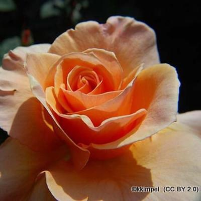 Rose 'Breath of Life'. Bareroot Climbing rose. Double apricot, fragrant climber