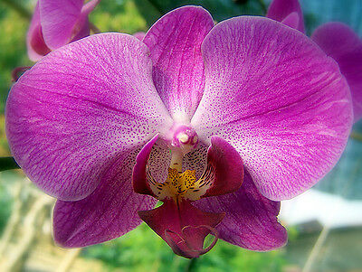 +1000 Semi Seeds Phalenopsis Pink Orchidea fiore Rosa Orchid seed semillas vitro