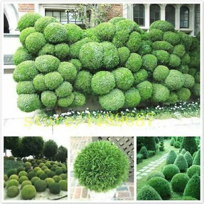 100 pcs juniper tree seeds balls potted flowers purify the air for DIY home gard
