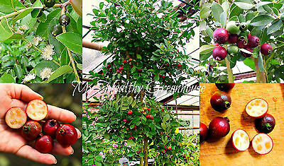 Dwarf Cattle Guava Seeds, Strawberry Guava Indoor Outdoor Container Tree 20 seed