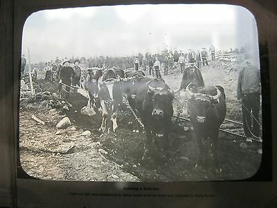 MAGIC LANTERN featuring oxen being used to build a railway in Nova Scotia Canada