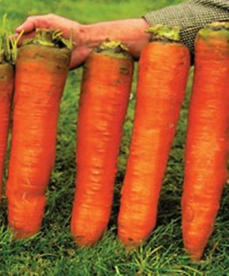 500 pcs Carrot Seeds-Red Giant Organic Russian Heirloom Vegetable seed for home