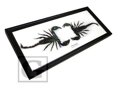 Twin Giant Scorpion Real Insect Bug Taxidermy Display in Wooden Frame gpasy
