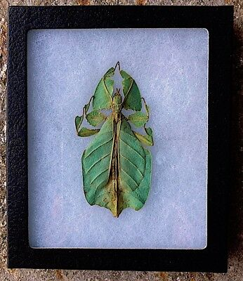 """Real Leaf Mimic Insect Phyllium Pulchrifolium Female 4"""" X 2"""" Pro Framed In Box"""