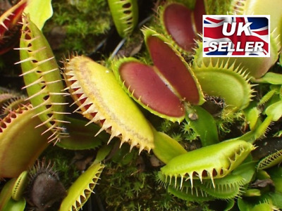 GENUINE Venus Fly Trap 30 Seeds Green Carnivour Plant Dionaea Muscipula Seeds
