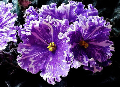 PT-Foxtrot~African Violet~Blooming Plant~Russian Variety