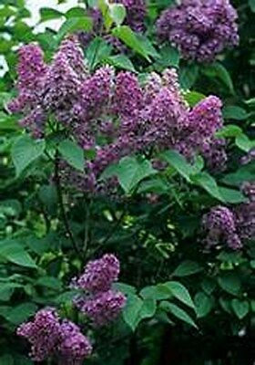 Lilac- Common- 20 Seeds - 50 % off sale