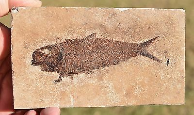 "Fossil Fish, 5"" Knightia eocaena, Green River Formation, Wyoming, U.S.A."
