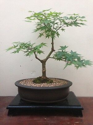 Bonsai Tree Aged Japanese Maple (free Delivery Sydney Wide)