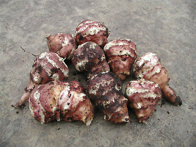 Jerusalem Artichoke 24 Organic red-skinned tubers PLANT or EAT NOW
