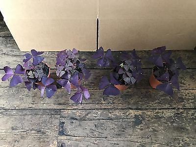 Oxalis Triangularis Purple Black Border Rare Houseplant 9Cm Pot Sent Bare Rooted