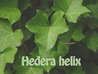 100 SEEDS  English Ivy Hedera Hellix Pot / Garden Plant Seeds- UK-SELLER