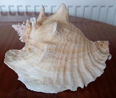 Large Vintage Conch Pink Shell 8.5""