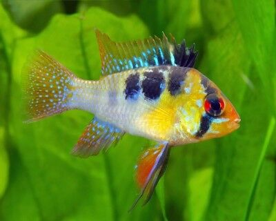 Ram - Tropical Fish - Beautiful & Gentle - Community Fish