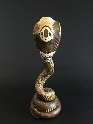 Authentique naturalisation rare Serpent Cobra période vintage taxidermie