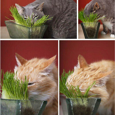 12g/bag Fairy Garden Seeds Sweet Oat Grass seeds for Cats and other Pets