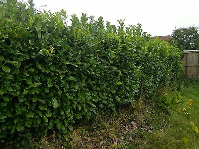 """50 Bare root laurel Hedging 2ft 6"""" to 3ft."""